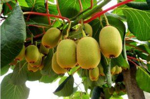猕猴桃种植|小贴士