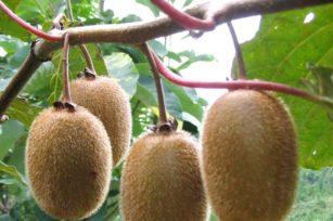 猕猴桃种植备忘录