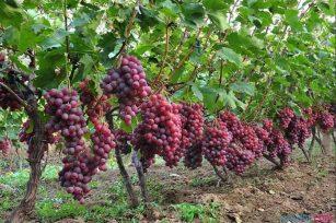 规模种植葡萄技巧