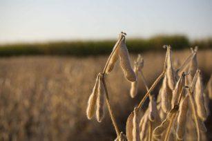 园丁日记|为什么您的大豆产量不高,分析大豆施肥技巧!