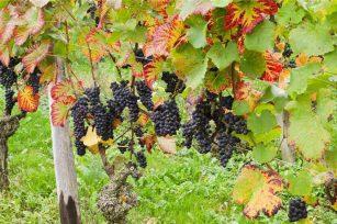 葡萄在施秋肥过程中注意事项