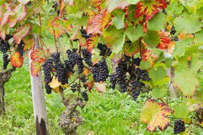 葡萄在施秋肥过程中,你会做到以下几点吗?