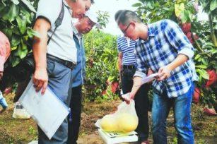 有机肥+施肥模式,漳州市平和县蜜柚增产明显