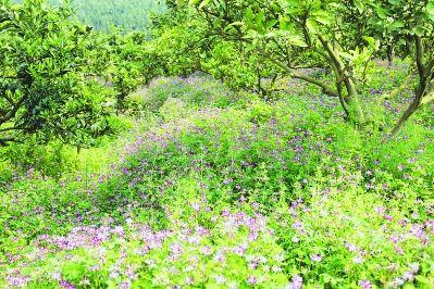 成都绿康有机肥_冬季柚园套种紫云英