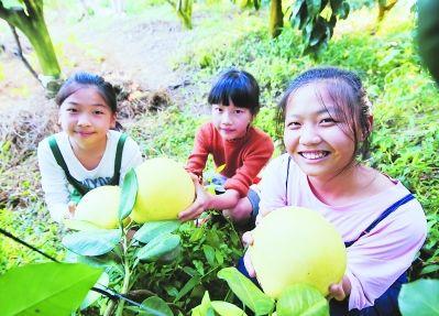游客在蜜柚园里采摘柚子