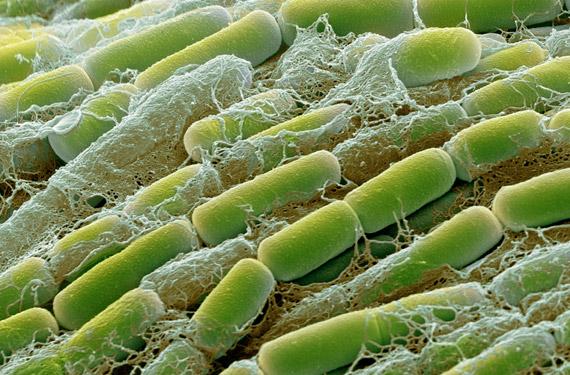 巨大芽孢杆菌细菌