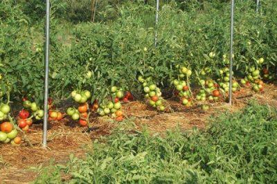 番茄和辣椒施肥指南