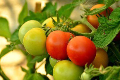 用有机肥种植西红柿不长,还是有机肥的用量太少了吗?