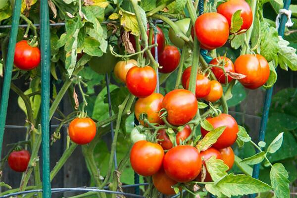 西红柿有机肥